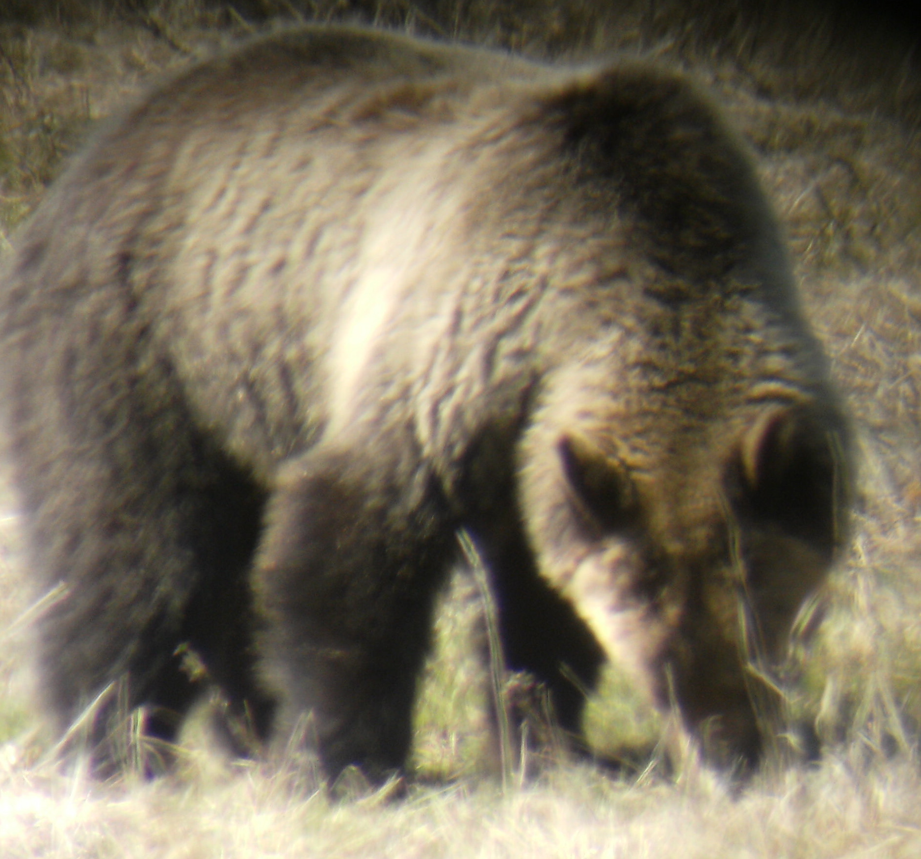 Grizzly photo taken in Lamar Valley last sunday, mother's day