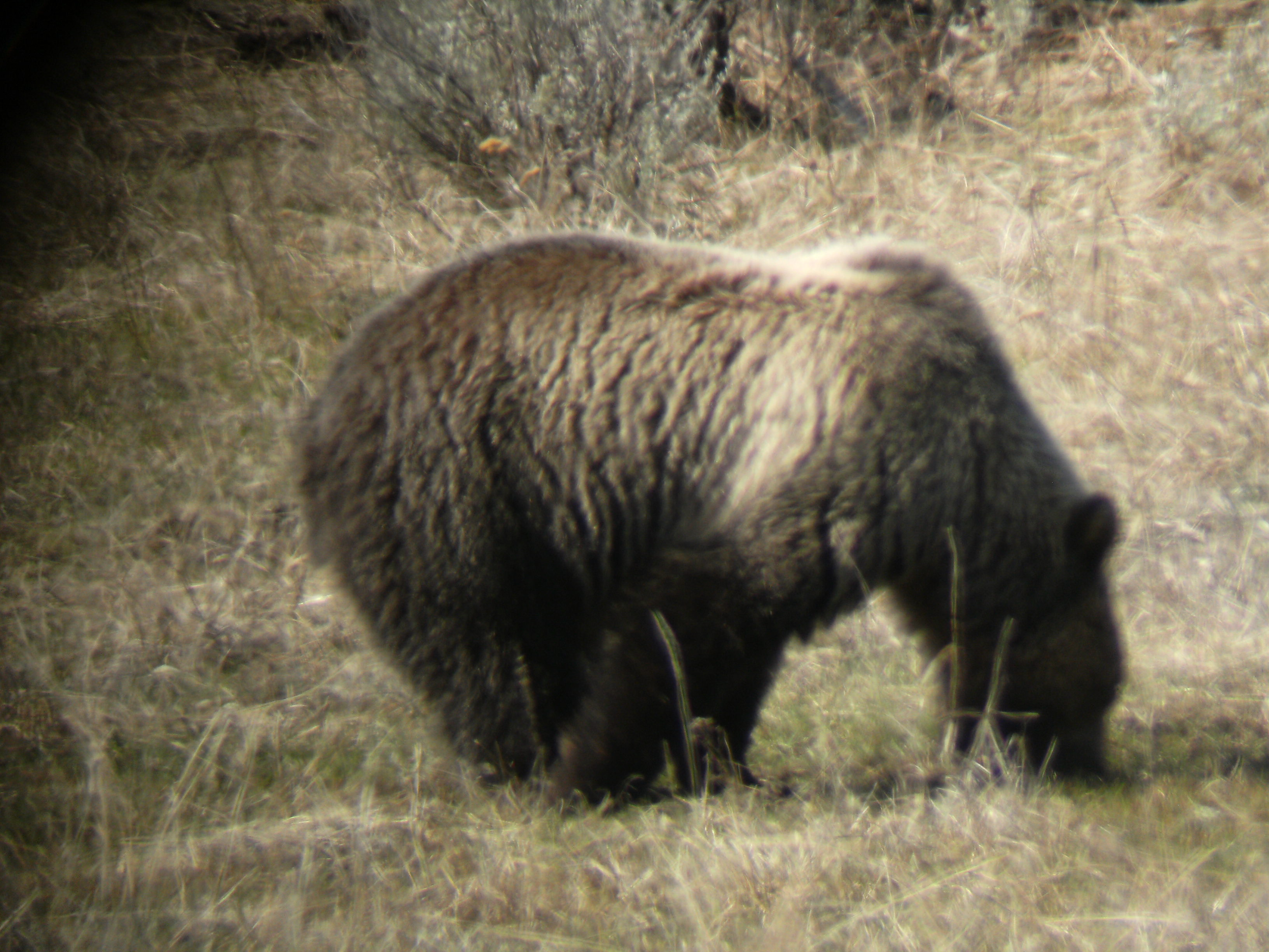 This grizzly spent hours upturning Bison paddies for insects underneath