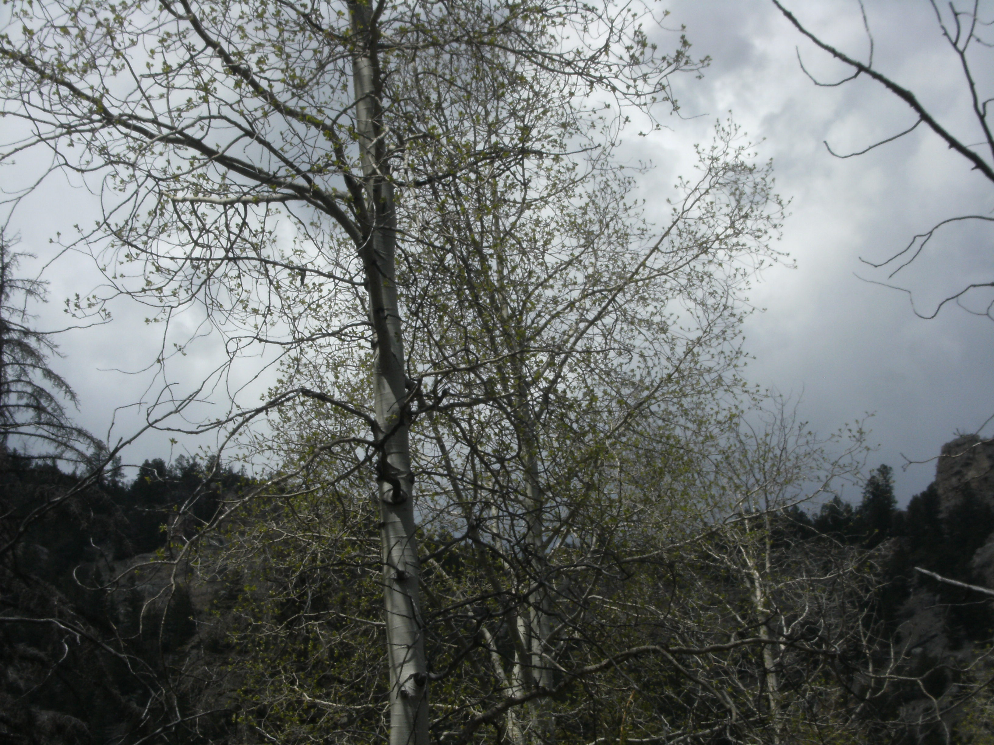 Aspens starting to bud out.