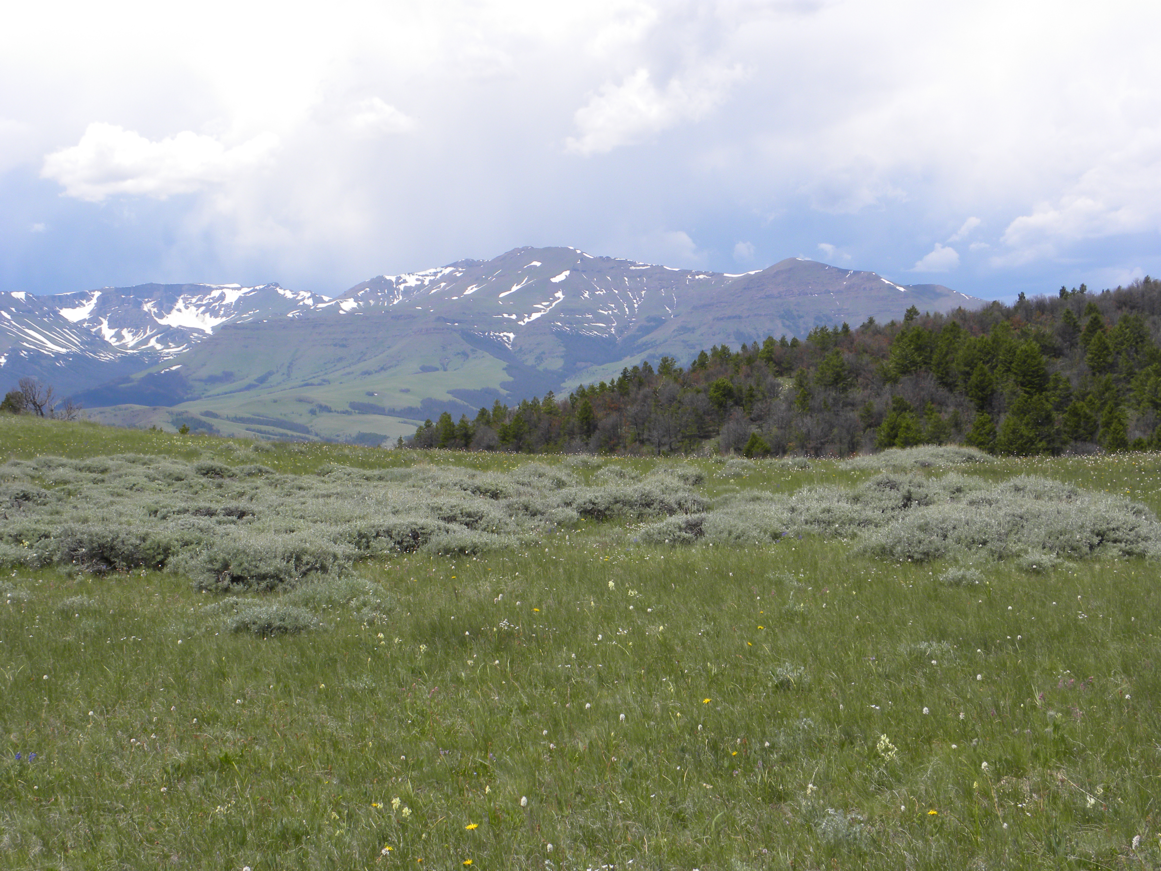 Meadow of bunchgrasses and sage