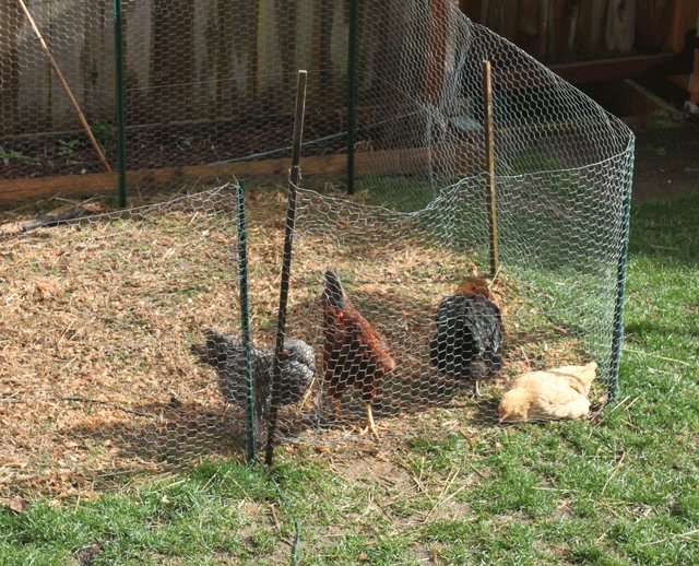backyard-chickens-jason-price-seattle