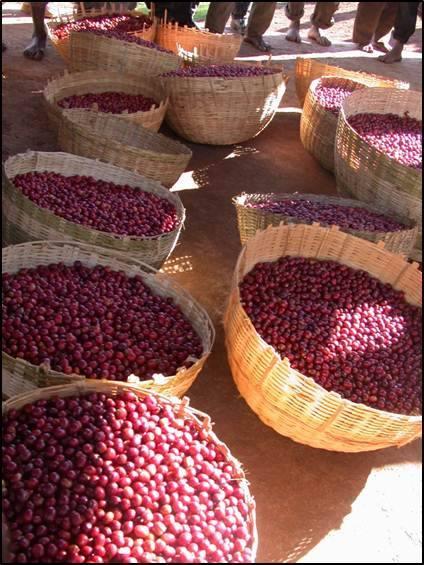 seattle-coffee-cherries