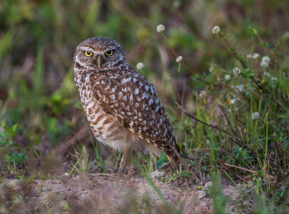 Burrowing Owls – Cape Coral, FL – Part 1 The Adults
