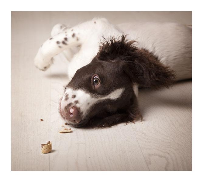 Glasgow photographers Spaniel puppy