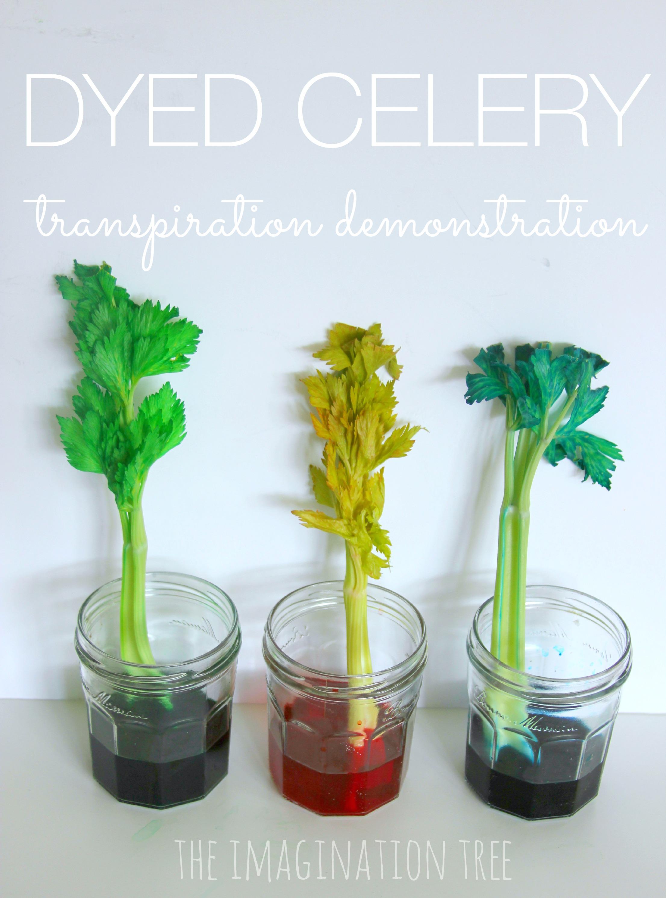 Dyed Celery Experiment Transpiration Demonstration