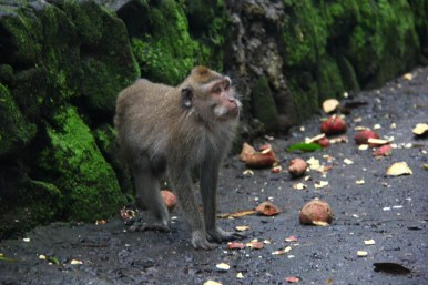 Hungry Monkey, Monkey Forest, Ubud, Bali
