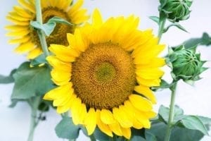 #sunflower