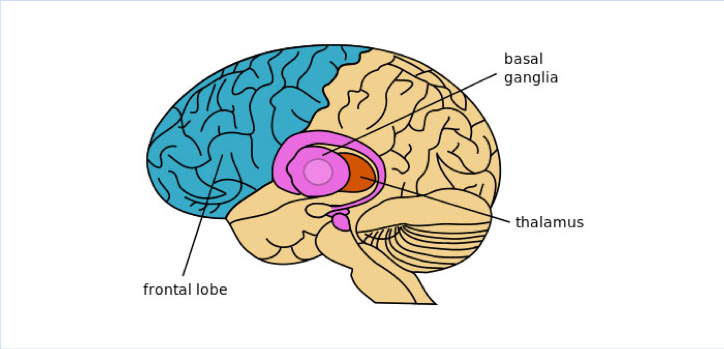 Image of a brain showing basal ganglia