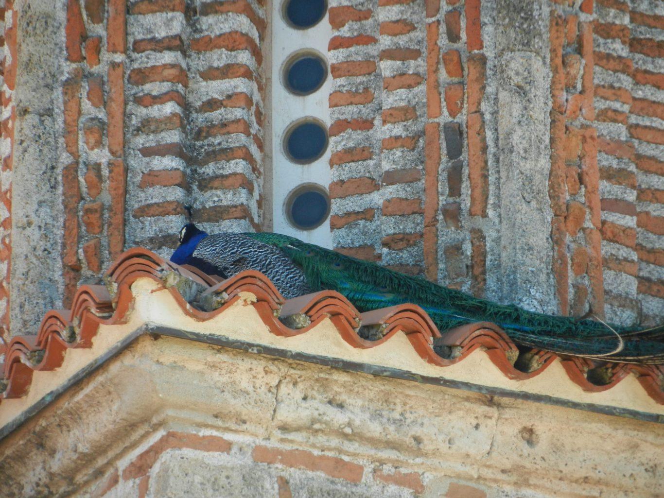 A peacock on the roof of St. Naum Monastery, Ohrid, Macedonia