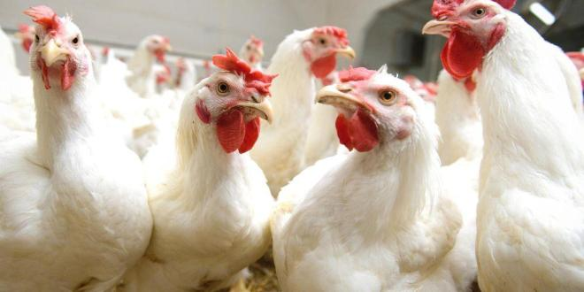 PC: poultryindia.co.in