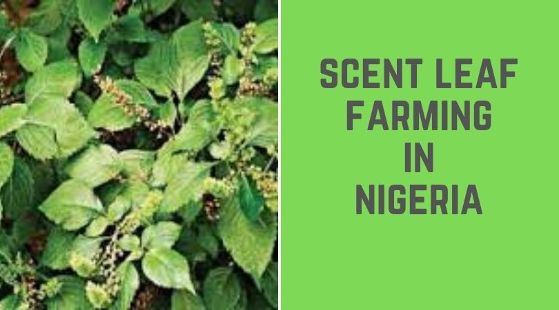 Scent Leaf Farming in Nigeria