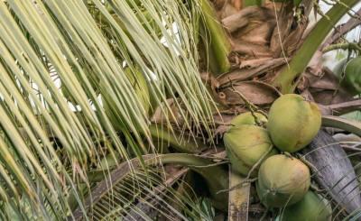 Coconut Farming in Nigeria
