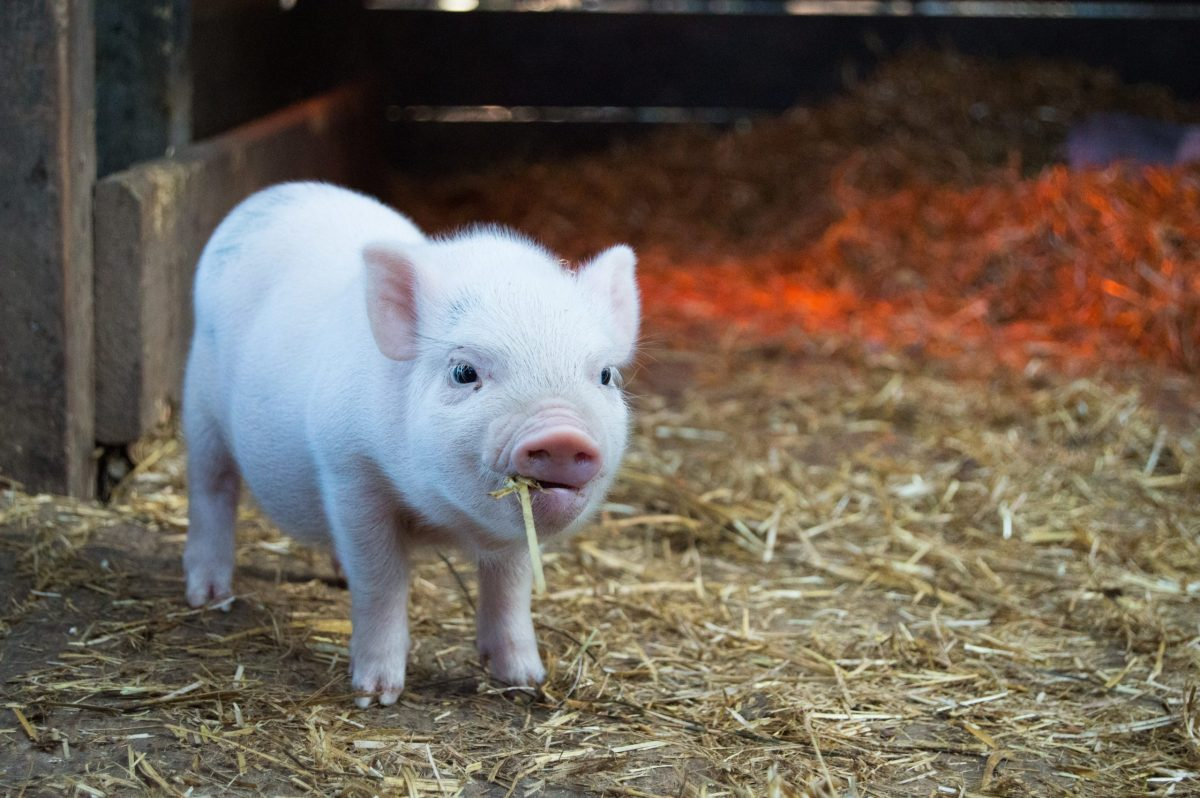white piglet chewing hay christopher carson animals