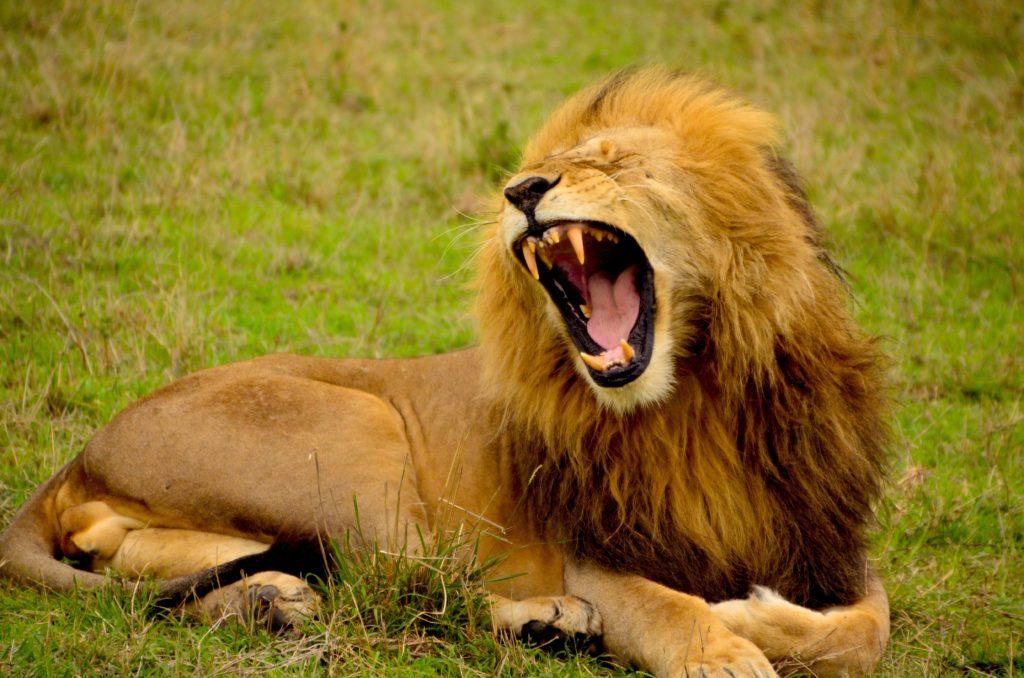 lemuel butler lion animals cruelty and heartbreak