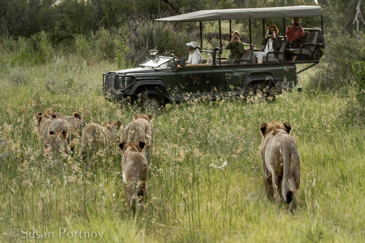 Lions pass by two vehicles while on a game drive in Botswana--An African Safari is it Right for You? A Guide to an Ultimate Dream Holiday --The Insatiable Traveler