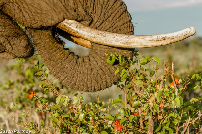 An elephant's incredible dexterity is the result of over 150 thousand muscles in its trunk