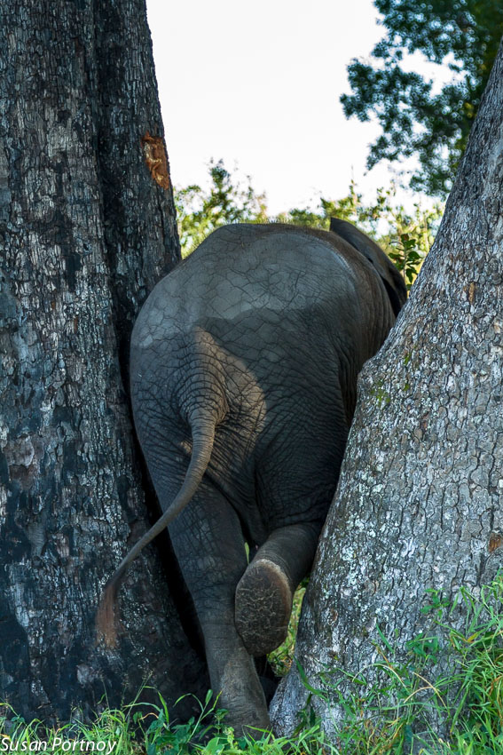 Little warona squeezing between two trees. All the better to scratch her itchy sides