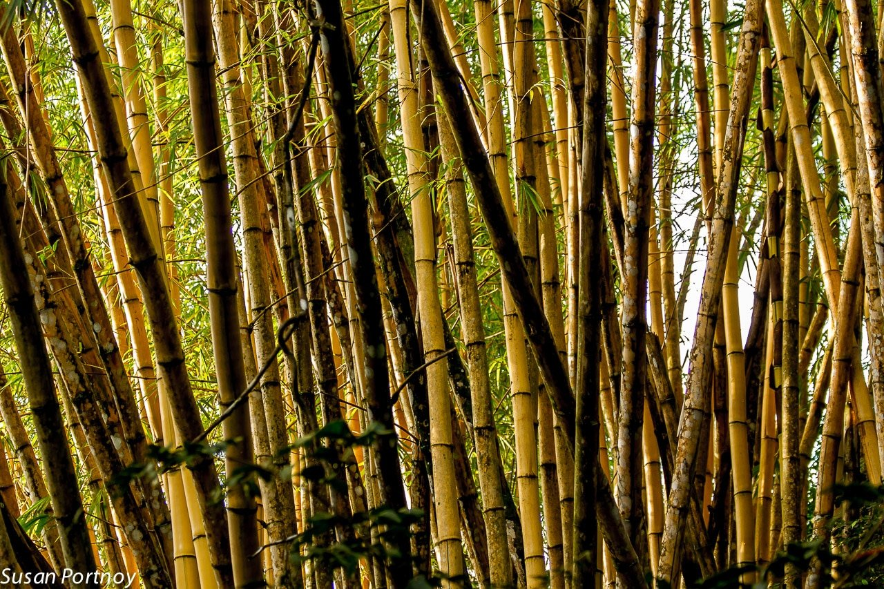 A tiny forest of bamboo in Costa Rica