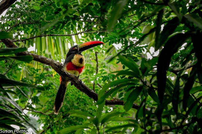 A fiery-billed aracari in Costa Rica