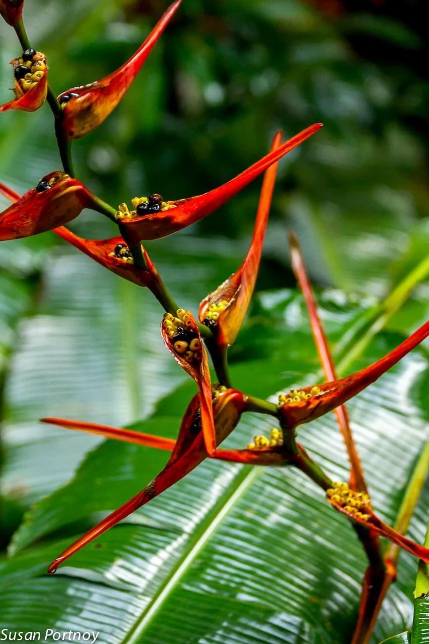 Bird of paradise in Costa Rica