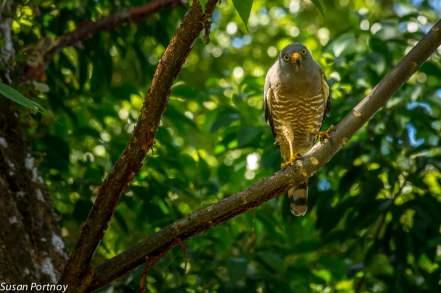 Roadside hawk in Costa Rica