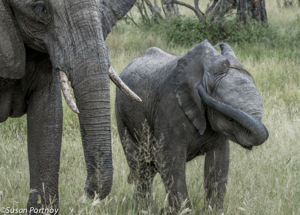 Every wonder how an elephant scratches its ears? Now you know.