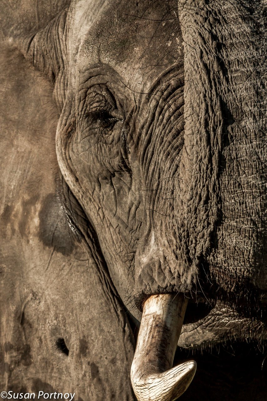 Kiti, of the Abu herd, raises her trunk for me while on a walk on the Okavango Delta. The hole in Kiti's ear was made by the tusk of the dominant female of the herd during an altercation. Sadly, Kiti passed away recently after suffering complications from giving birth. Her daughter Naledi however, is alive and well.