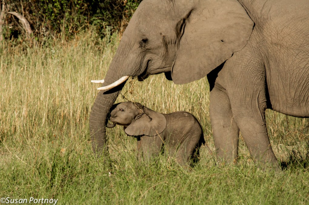 A leisurely stroll ends up in a smushed trunk when a young calf fails to realize that her mother has come to a complete halt.