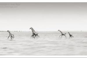 Giraffe Running; Andy Biggs