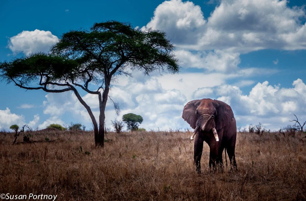 A large bull elephant, covered in red dirt to keep cool, raises his trunk to get a good whiff of us as he approached our jeep