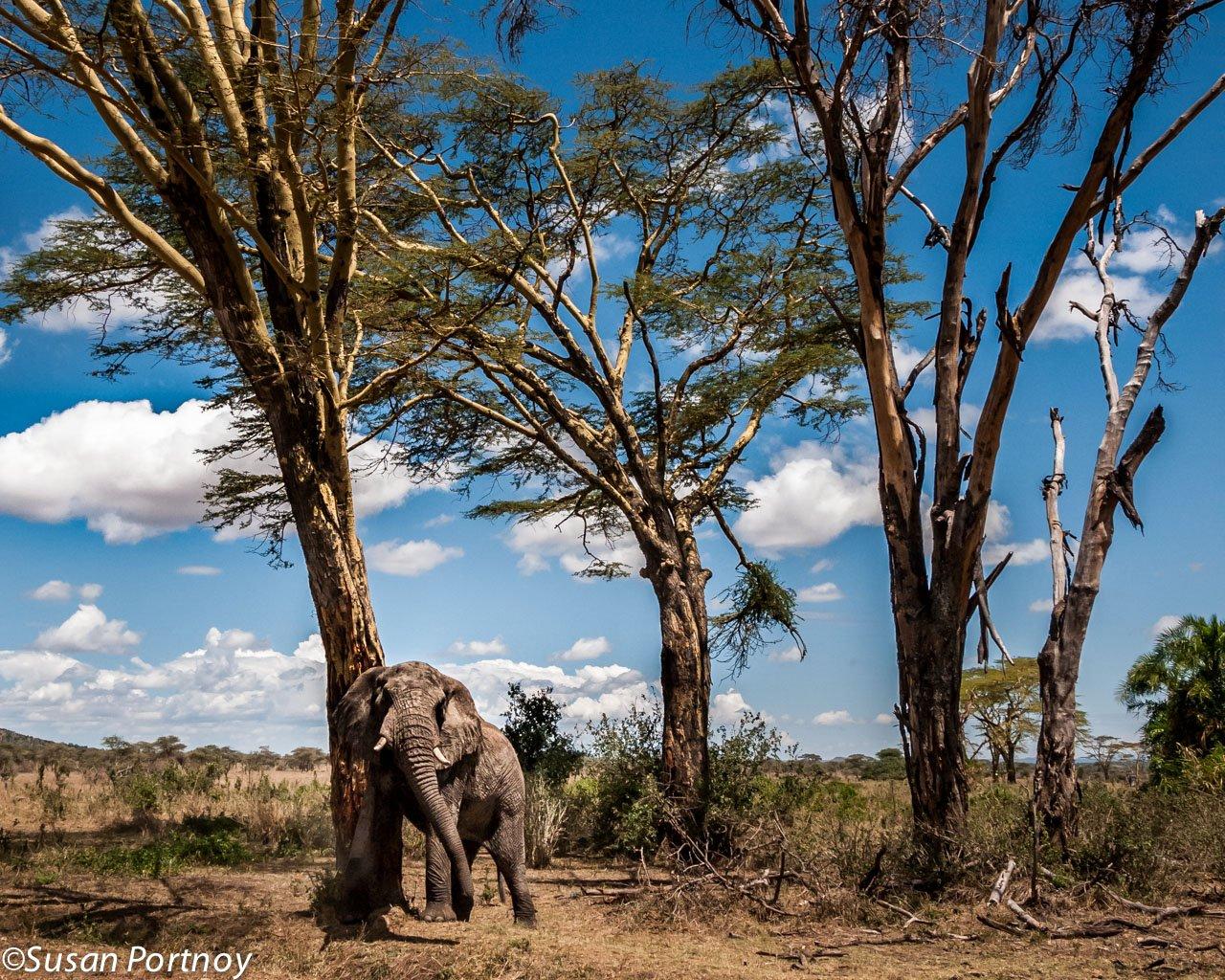 A big tree for a big elephant scratch