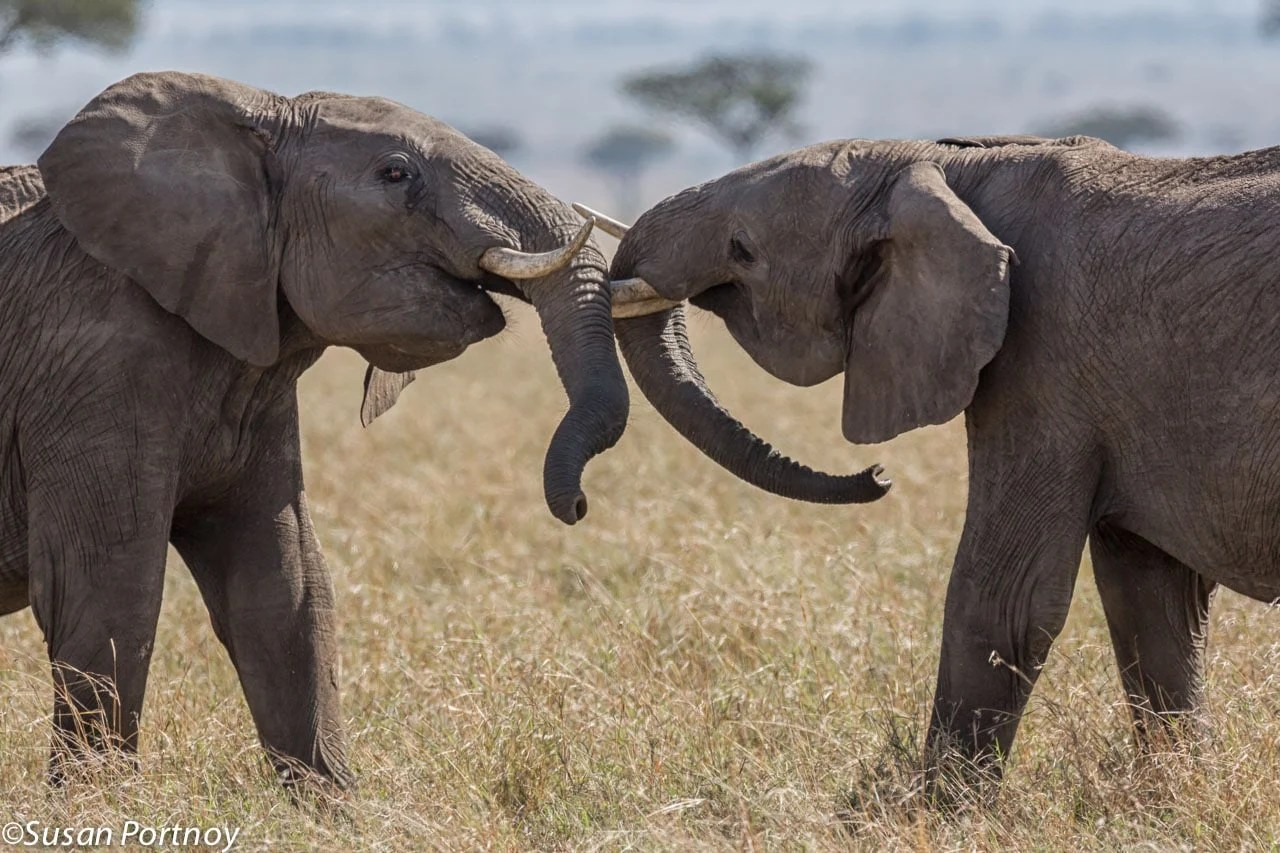 To young bulls play fight on the Masai Mara in Kenya - an important part of the maturing process and practice for when fighting for dominance is for real.