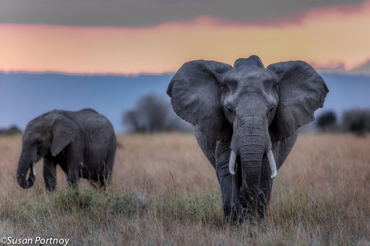 A sherbet colored sky hangs over two elephants of a small herd we found at dusk in Kenya.