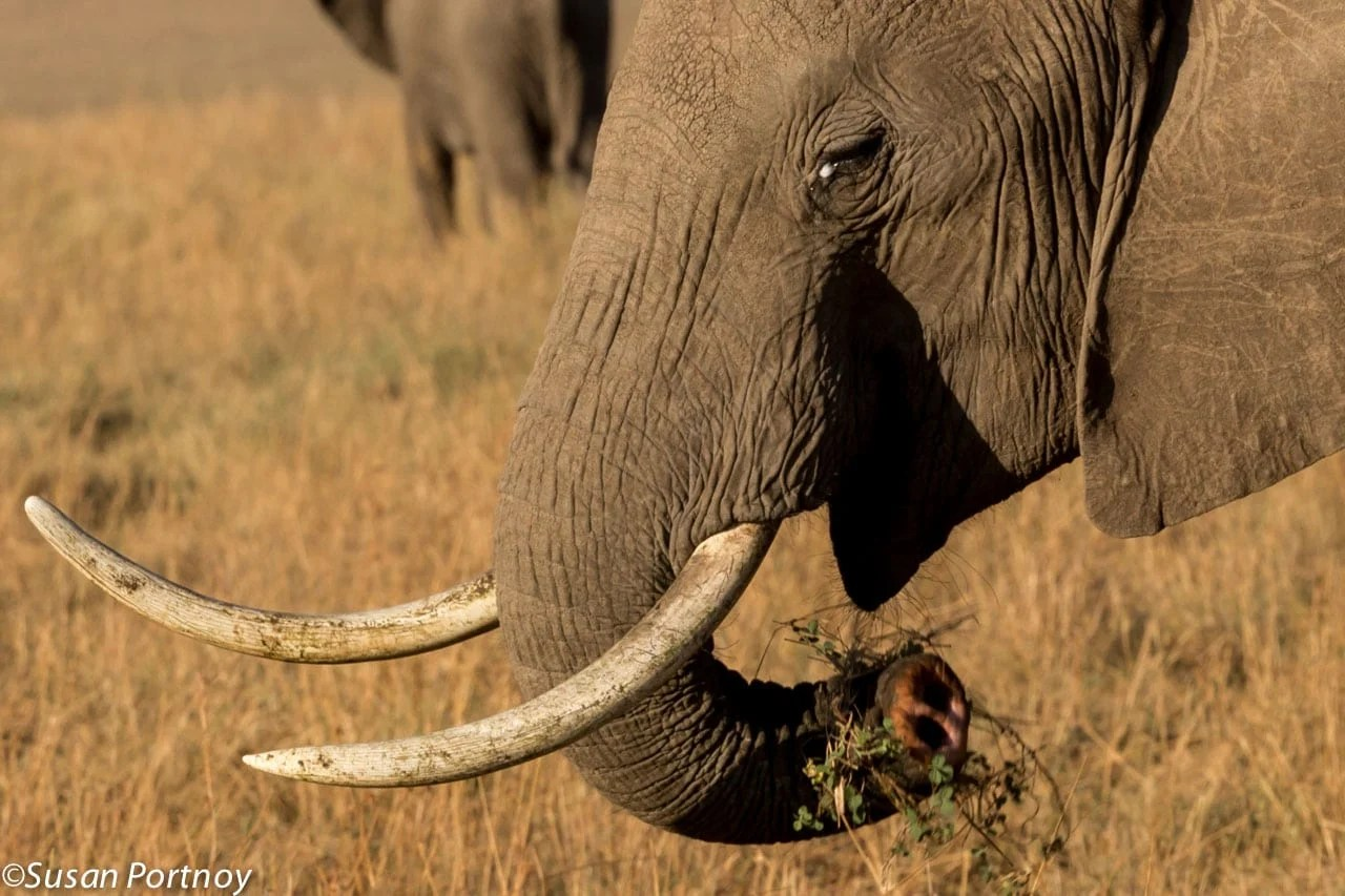 It's amazing how elephants learn to adapt. This female lost the lower portion of her trunk but learned to feed herself without the aid of the nimble, finger-like tip of her trunk