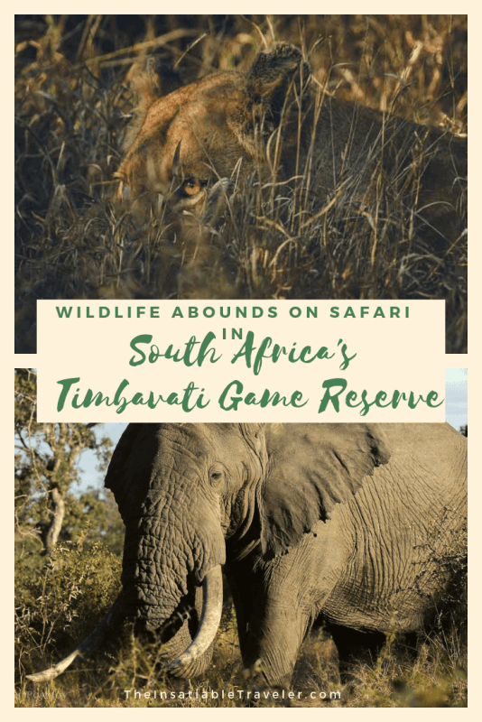 The Timbavati Game Reserve is known for an abundance of wildlife, high leopard density, and famous white lions. Who could ask for more on safari? #SouthAfrica #SouthAfricaSafari ##SouthAfricaSafariPhotography #TimbavatiGameReserve #Wildlife #WildlifePhotography #umlanibushcamp #Safariphotography