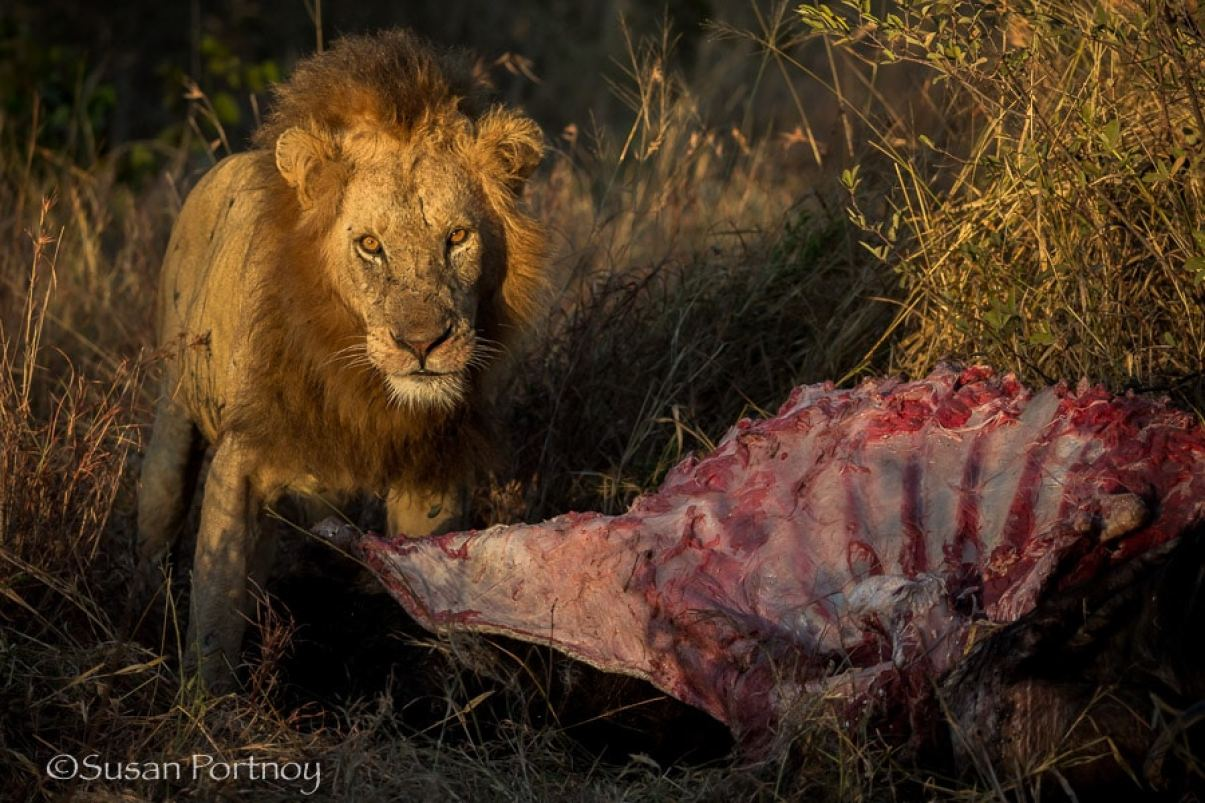 Lion at sunrise with buffalo carcas in Timbavati, South AFrica