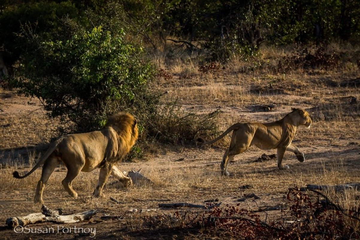 Male lion chasing a female lion in Timbavati, South AFrica