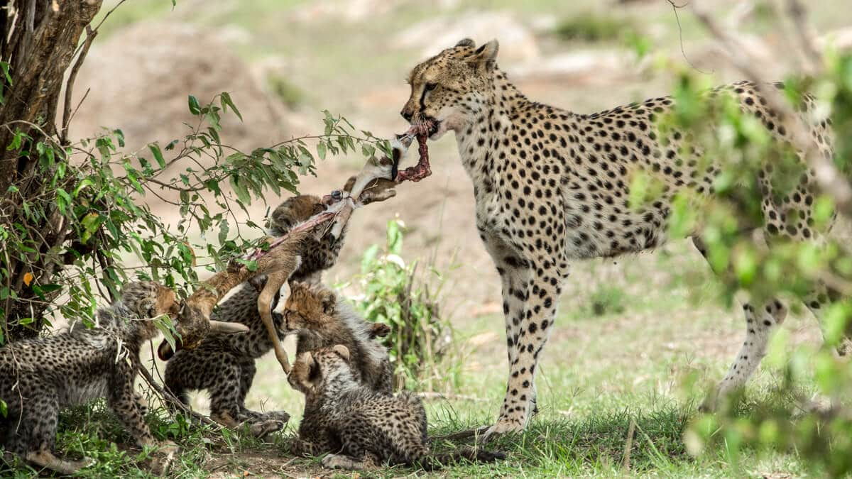 Cub and cheetah mother play tug of war with a Thomson's gazelle kill in Kenya--What do Cheetah's Eat