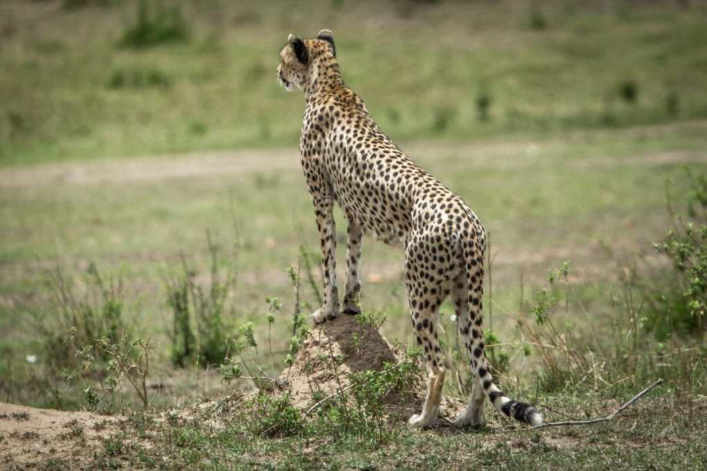 Female cheetah stands on a termite mound --What do Cheetah's Eat