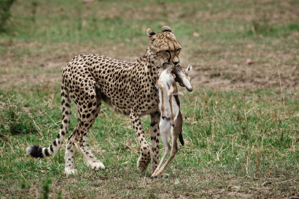 Cheetah carries impala kill --What do Cheetah's Eat