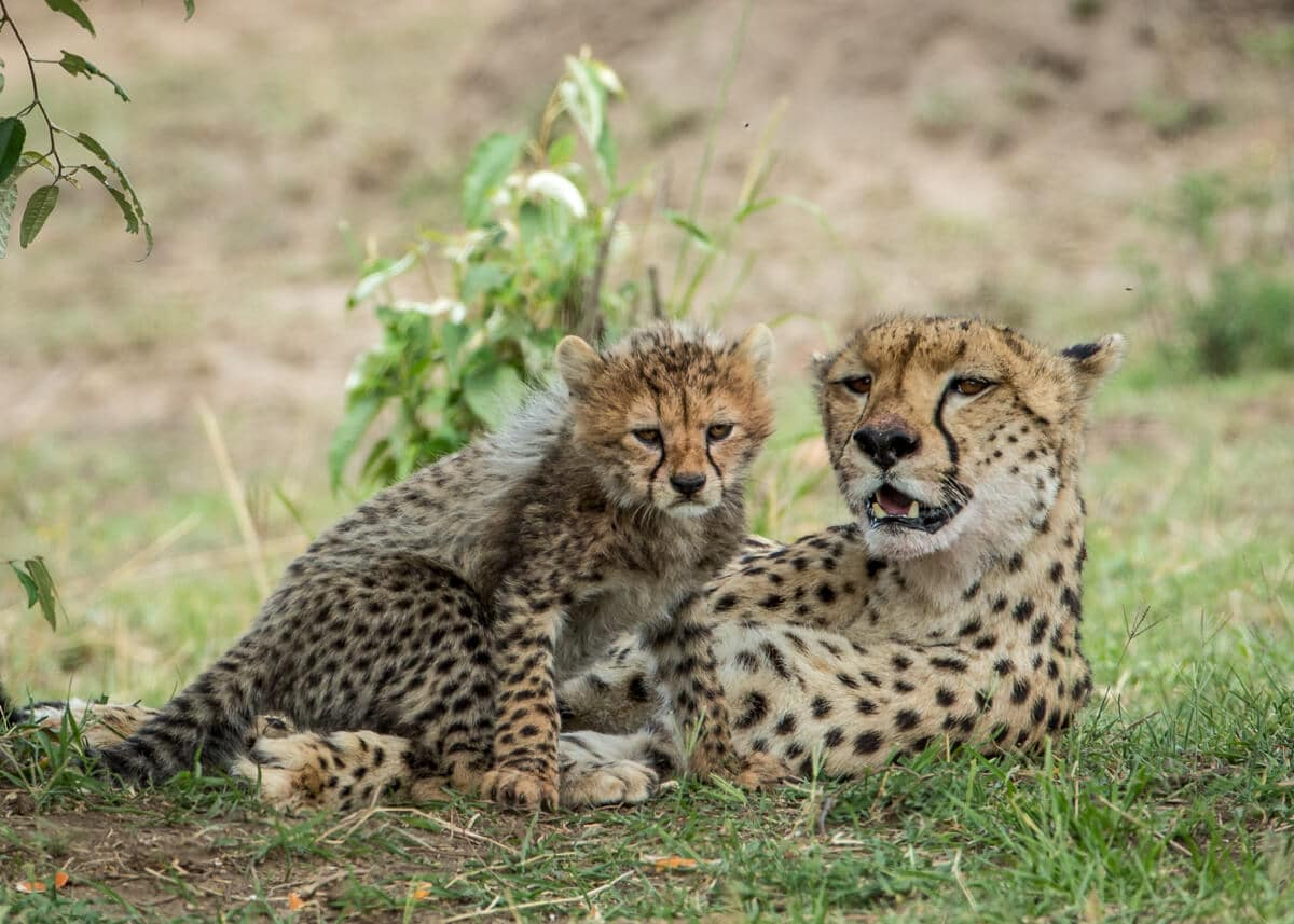 cheetah and cub in the Mara Triangle in Kenya--What do Cheetah's Eat