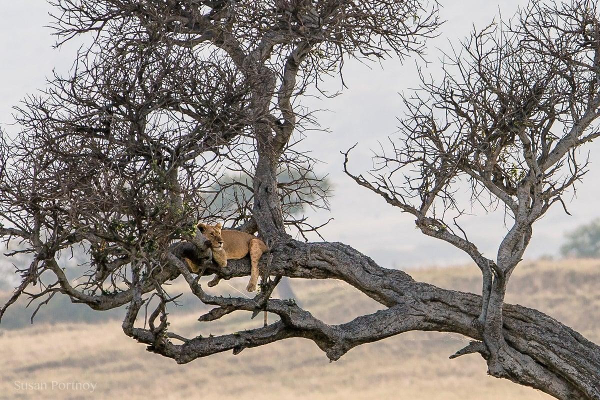 Lion lying in a tree in the Masai Mara, Kenya, The Insatiable Traveler