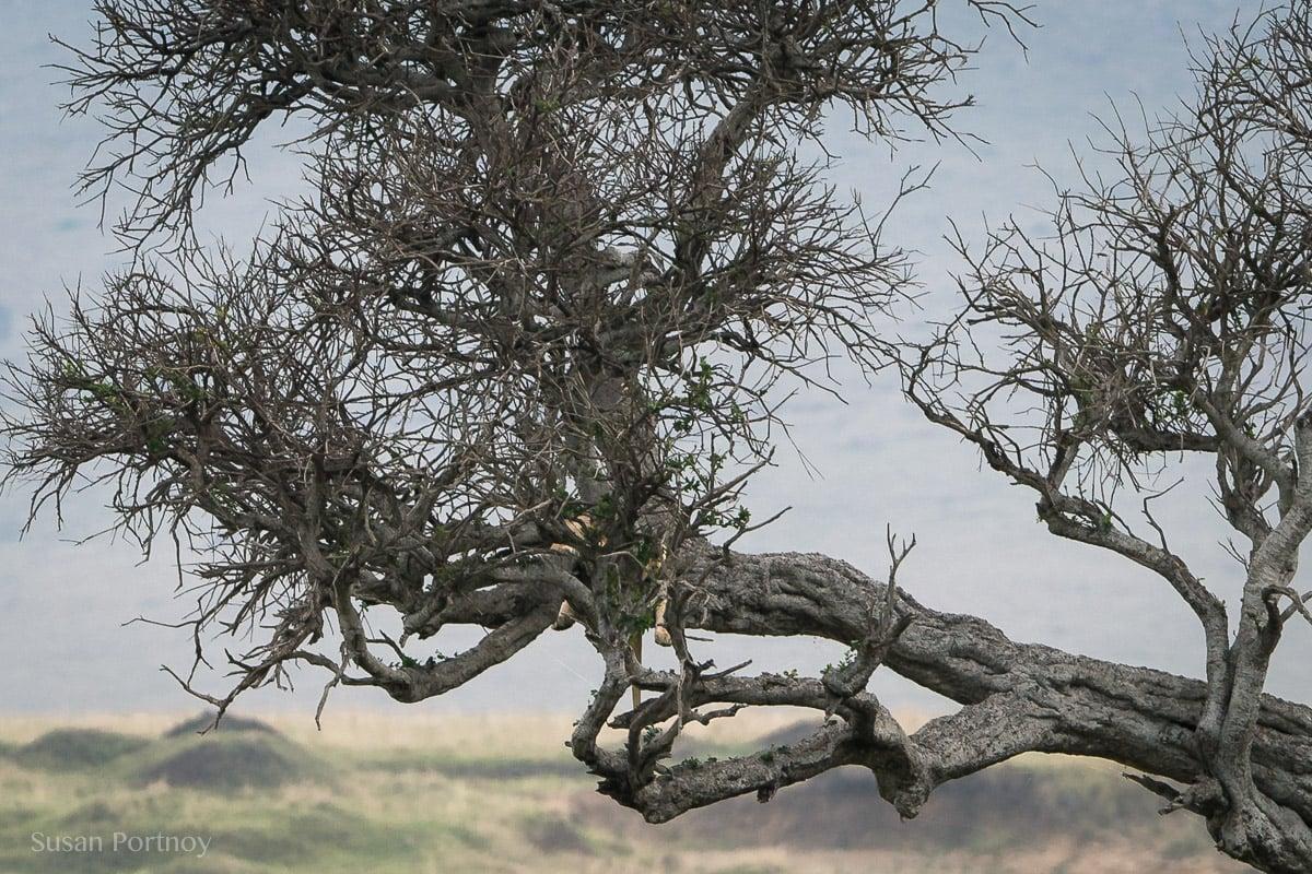 Lion hidden in at tree in the Masai Mara, Kenya, The Insatiable Traveler