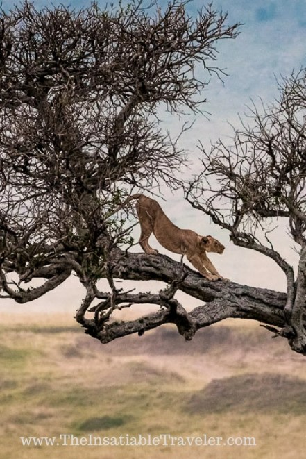 A lion in a tree in the Masai Mara in Kenya. A classic story of wildlife photography with the frustration, amazement and joy that comes with it. The Insatiable Traveler