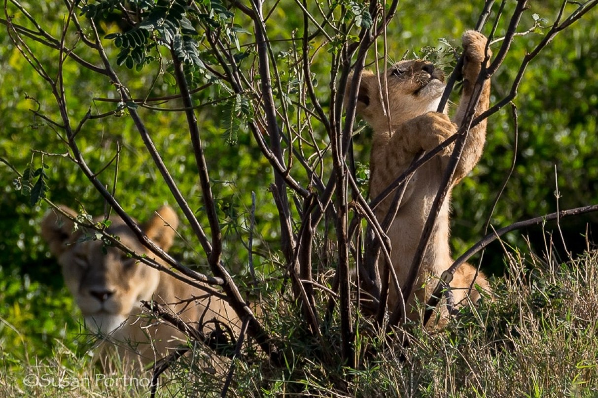 lion cub climbs a bush with lioness looking on in Masai Mara, Kenya