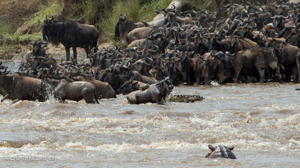 Wildebeest crossing - Wildlife Stories