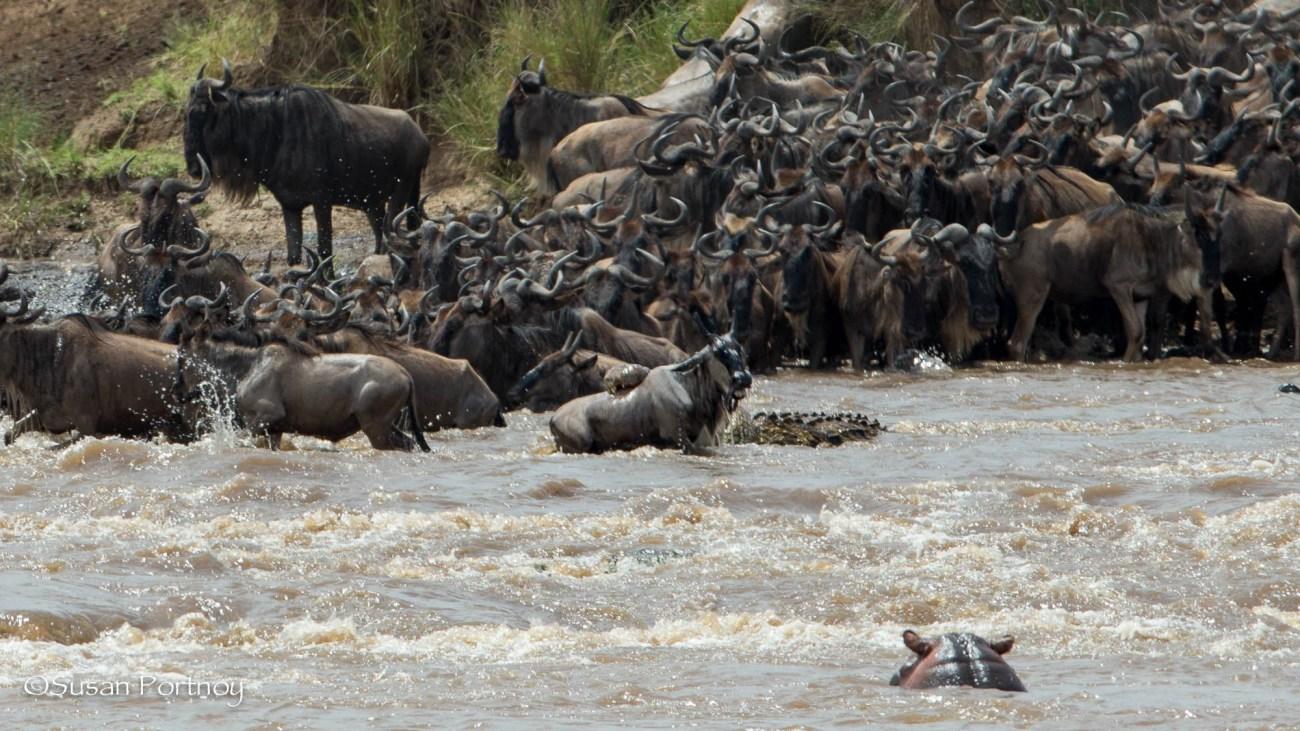 Wildebeest crossing - Wildlife Stories