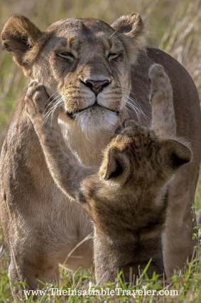 The Masai Mara Lion Cubs. Where Are They Now? I finally found out! The Insatiable Traveler