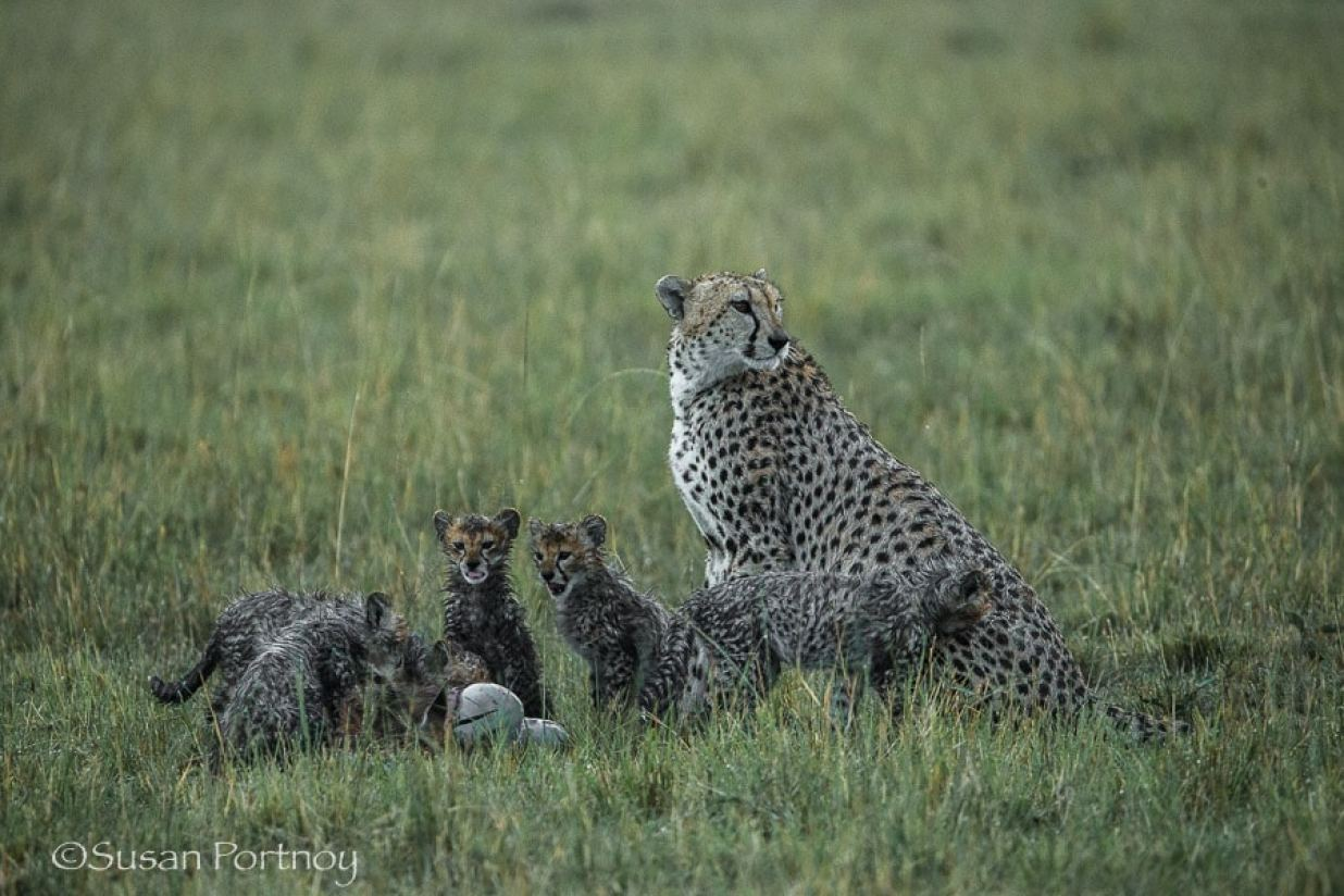 photographing-cheetah-and-cubs-in-the-masai-mara-370401-2