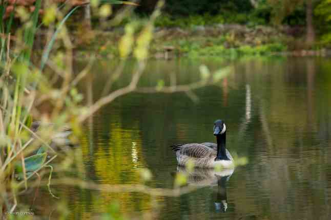 A solo Canadian goose paddles through the water near Cherry Hill